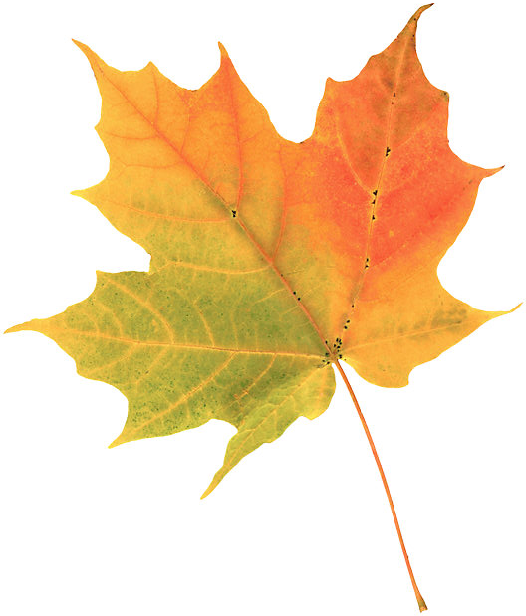 A picture of a sugar maple leaf in fall colors